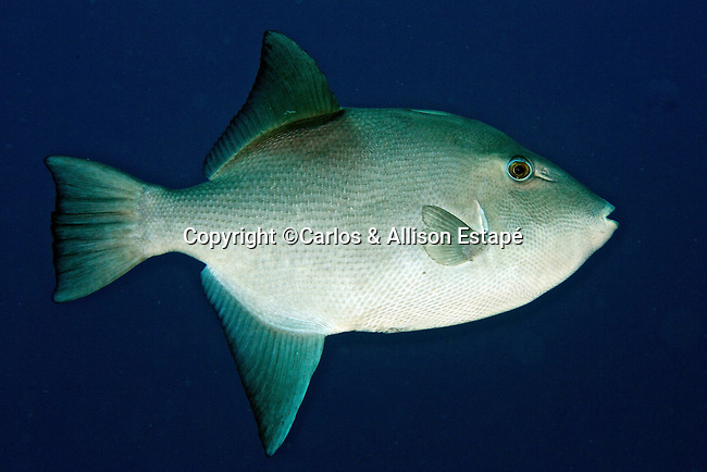 Canthidermis sufflamen, Ocean triggerfish, Grand Cayman