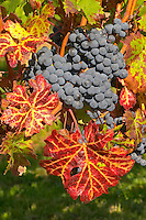 Petit Verdot grape bunches and vines - colourful leaves - Château Pey la Tour, previously Clos de la Tour or de Latour, Bordeaux, France