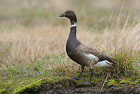 Brant (Branta bernicla). Yukon Delta National Wildlife Refuge, Alaska. June.
