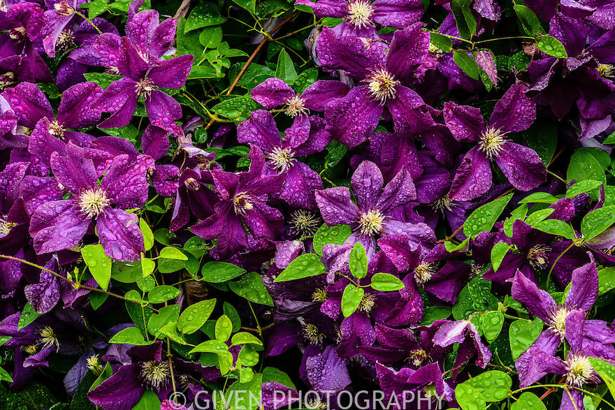 Clematis, Washington