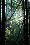 coast redwoods at Butano State Park