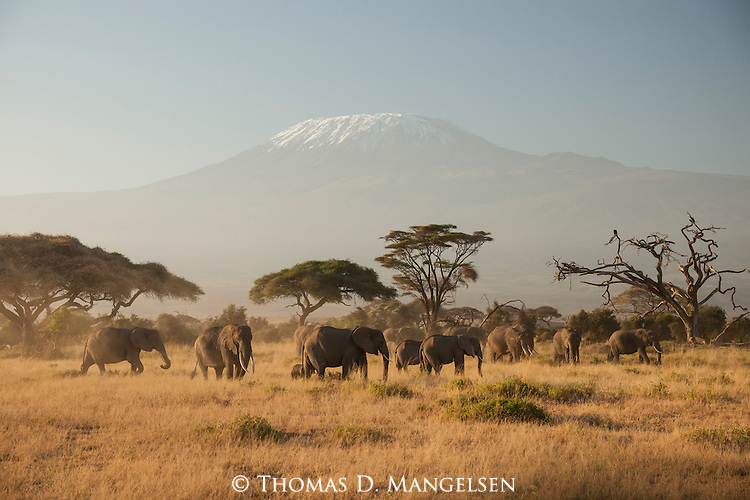 A matriarchal herd of African elephants feed at sunrise below Mount Kilimanjaro in Amboseli National Park in Kenya.
