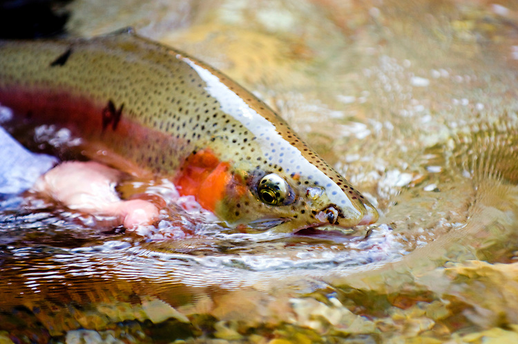 Catch and release trout fly fishing in Jones Hole Utah. Big male Rainbow trout being released back into the creek.