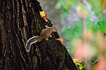An autumn squirrel perches in a tree.