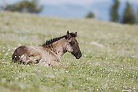 Mustang Horse (Equus ferus), Pryor Mountain Wild Horse Range, Montana, USA