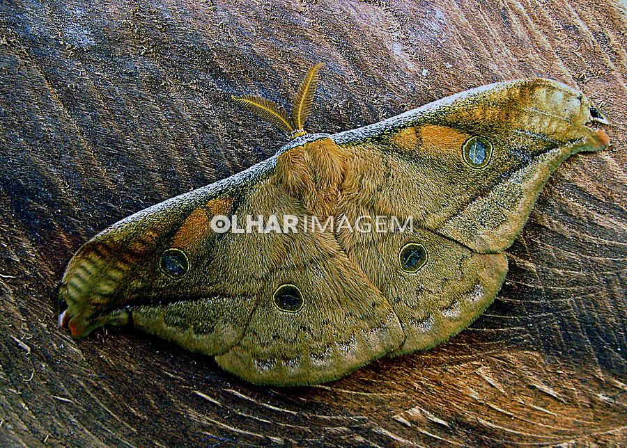 Animais. Insetos. Mariposa ou Bruxa ( Lepidoptera).  Foto Juca Martins