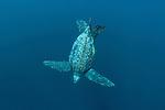 Leatherback sea turtle (Dermochelys coriacea) underwater