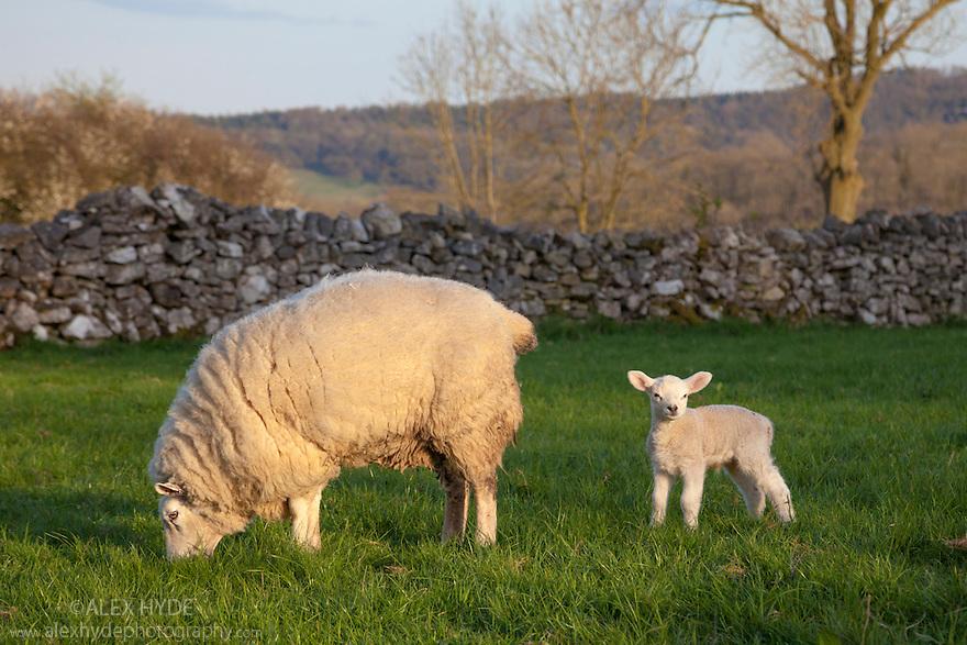 Ewe with lamb in field. Peak District National Park, Derbyshire, UK. April.