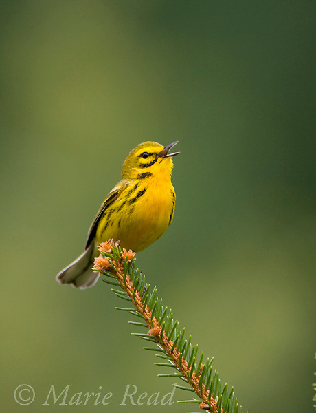 Prairie Warbler (Dendroica discolor) male singing on spruce branch, New York, USA<br /> Cropped from original