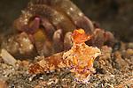 Chromodoris nudibranch(Ceratosoma trilobatum)