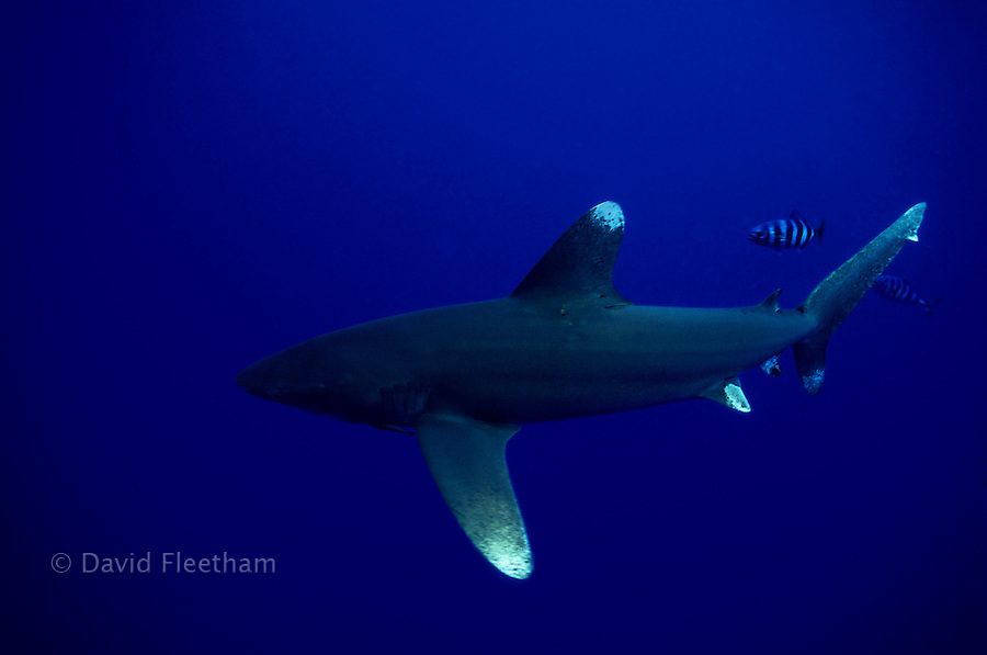 This oceanic whitetip shark, Carcharhinus longimanus, is accompanied by pilot fish? as is usual with this pelagic species.  Hawaii.