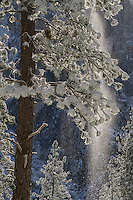 Ponderosa Pine (Pinus ponderosa), after winter snow storm in Yosemite National Park.