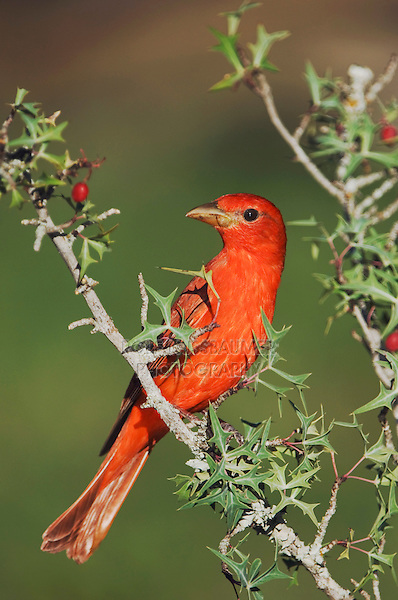 Summer Tanager, Piranga rubra, male eating Agarita (Berberis trifoliolata) berries, Uvalde County, Hill Country, Texas, USA, April 2006