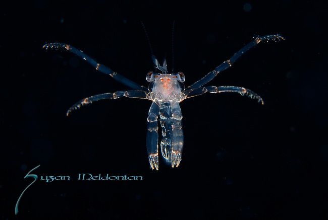 Shrimp, Black Water diving over Gufstream Current,depth 600 ft. Full moon, Super moon, with Pura Via Divers, off Singer Island, Florida