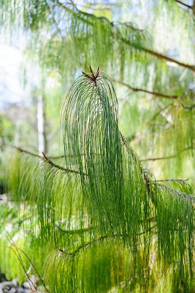 Pinus patula (Mexican yellow pine)