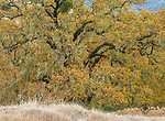 Valley Oaks, Quercus lobata, Acorn Ranch, Yorkville Highlands, Mendocino County, California
