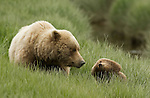 A mother brown bear and her cub share a tender moment in Lake Clark National Park, Alaska, June 25, 2008.  This cub is about 18 months old and will likely spend one more winter with his mother.  Photo by Gus Curtis