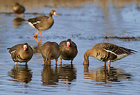 537260008 wild greater white-fronted geese anser albifrons feed in a shallow pond at colusa national wildlife refuge califonia