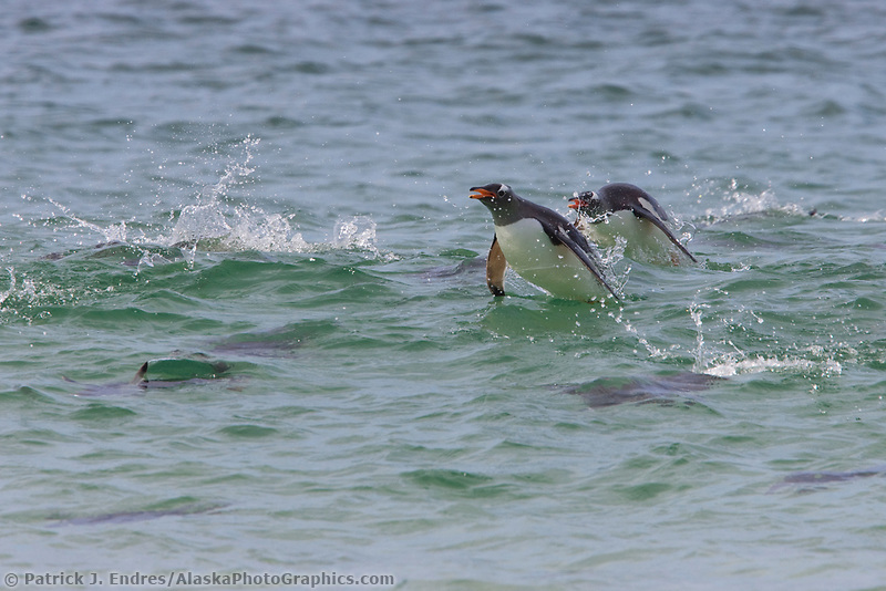 Gentoo penguins popoise off shore, New Island, Falkland Islands, United Kingdom