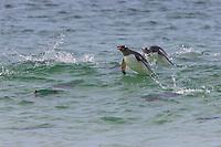 Gentoo penguins popoise off shore, New Island, Falkland Islands, United Kingdom