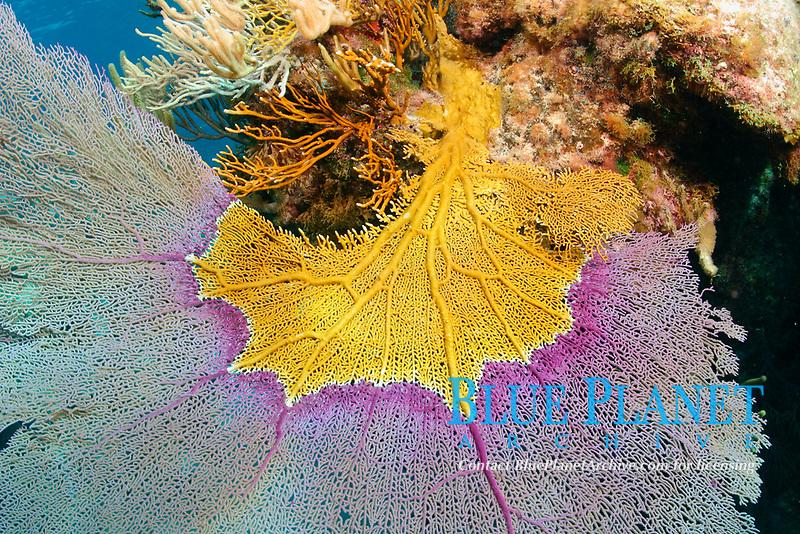 Fire Coral (Millepora alcicornis), North Rock, Bermuda. Fire coral overgrowing a purple sea fan.
