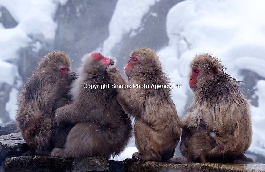 The Snow Monkeys of Jigokudani groom next to a hot spring in a valley known as Hell's Valley, north of Nagano city, Nagano Prefecture Japan. The Japanese Snow Monkeys live in the icy Japanese highlands, farther north than any other monkey in the world. With their double layer of thick fur, that resembles a furry hooded top on the younger members, they are able to withstand temperatures as low as of minus 15 degrees centigrade.   According to an official at the wild-life park, the bathing ritual of the Snow Monkey's did not begin until 1964, when a young monkey jumped into the hot pool chasing chestnuts, liked the feel, and stayed to bathe.  Many other youngsters followed and were soon followed by the adults.  With the freezing winter the naturally heated bathes were soon adopted as part of monkey life.  The Japanese Macaque is an extremely intelligent animal that has adapted to it's surroundings all over the country. While the Snow Monkeys bathe in the hot springs, other macaques are know to use salt water to flavor roots and others have learned to separate grain from mud by mixing it with water. .28 Jan 2011