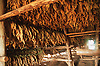 Tobacco drying in a barn near Vinales; Pinar Province; Cuba,