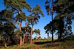 Scots pine trees Pinus sylvestris against blue sky on on heathland, Sutton Heath, Suffolk, England, UK