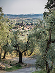 Olive trees and orchards, Vinci, Tuscano, Italy