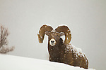 A mature big horn sheep during a snowstorm in Jasper National Park, Alberta Canada, on Jan 28, 2011.  Photo by Gus Curtis