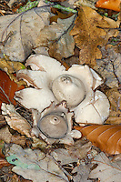 Collared Earthstar - Geastrum triplex