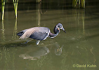 0830-0920  Tricolored Heron Wading in Marsh, Preparing to Strike Water for Prey, Louisiana Heron, Egretta tricolor © David Kuhn/Dwight Kuhn Photography