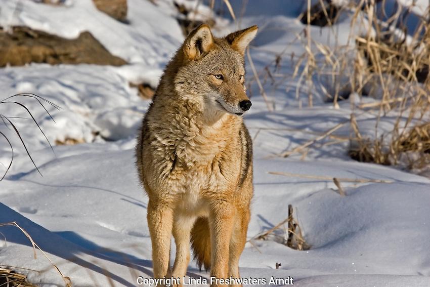Coyote (Canis latrans) watching something in the distance.  Winter.  Minnesota.
