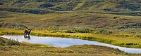 Bull moose feeds on summer grasses in a small tundra pond, Denali National Park, Interior, Alaska.