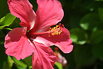 Hibiscus grows very well in tropical climates.