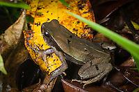 Leaf litter toad (Rhaebo haematiticus), Siquirres, Costa Rica.