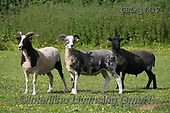 Bob, ANIMALS, REALISTISCHE TIERE, ANIMALES REALISTICOS, horses, photos+++++,GBLA4417,#a#, EVERYDAY