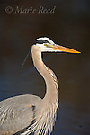 Great Blue Heron (Ardea herodias) in breeding plumage, Montezuma National Wildlife Refuge, New York USA