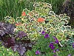 Zonal Geranium, Pelargonium 'Vancouver Yellow' in garden bed
