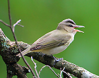 Red-eyed vireo singing