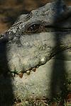 Ferme d'élevage de crocodiles (crocodylus porosus), les males sauvages les plus dangereux sont  capturés et parqués dans les fermes. ils sont nourris de poulets..Australie crocodiles Darwin