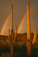 Saguaro cactus and rainbows, Arizona.