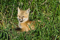 Red Fox Kit lying outside its den in tall grass
