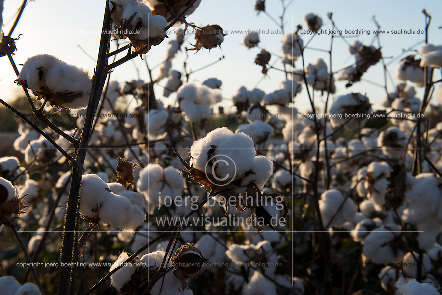TURKEY, Kesik, near Menemen, conventional cotton ready for picking machine harvest after spraying of defoliants / TUERKEI, Kesik, bei Menemen, konventioneller Baumwollanbau, nach Verspruehen eines Entlaubungsmittel ist die Baumwolle erntebereit fuer Pflueckmaschinen