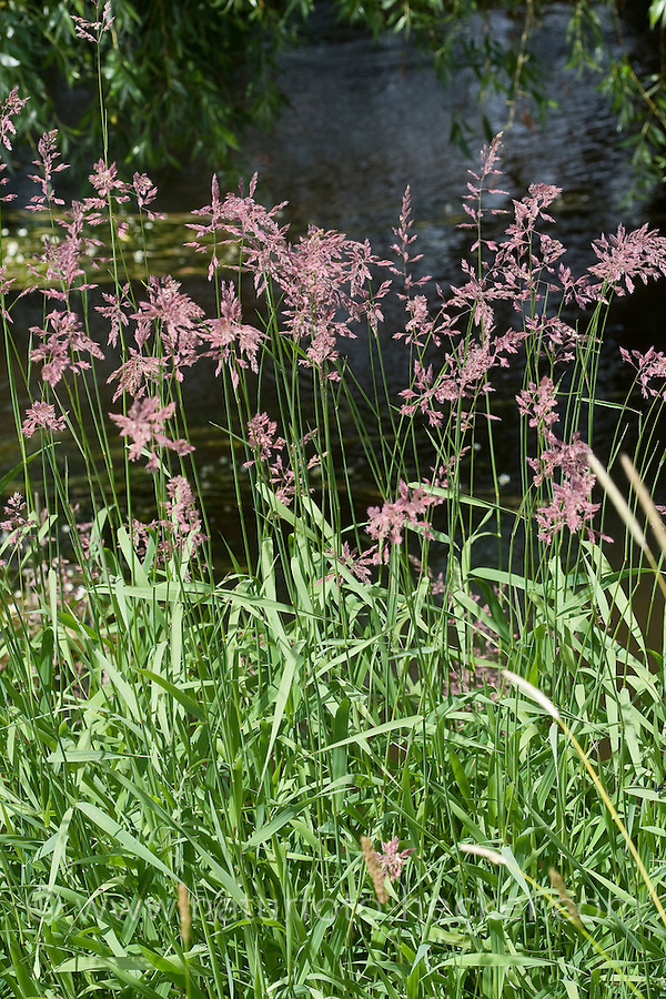 Rohr-Glanzgras, Rohrglanzgras, Phalaris arundinacea, Reed canary grass, Ribbon Grass
