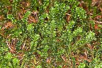 Großes Kranzmoos, Großer Runzelpeter, Rhytidiadelphus triquetrus, Big Shaggy-moss, Shaggy moss, rough neck moss, big shaggy moss, electrified cat's tail moss