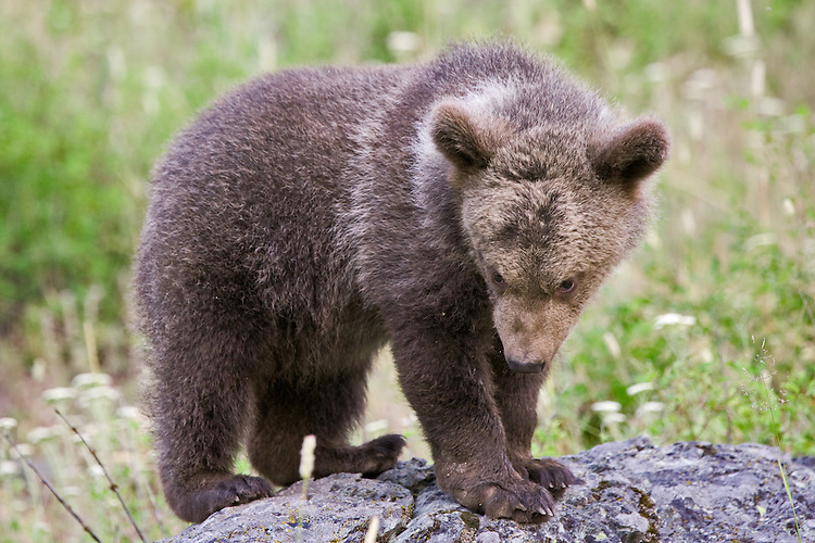 Grizzly bear cub standing and watching from a rock - CA