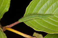 Zitronenfalter, Zitronen-Falter, Raupe frisst an Faulbaum, Gonepteryx rhamni, Raupe sitzt zur Tarnung auf der Mittelrippe des Blattes, brimstone