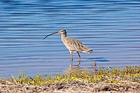 Long-Billed Curlew, Guererro Negro, Baja Sur, Mexico