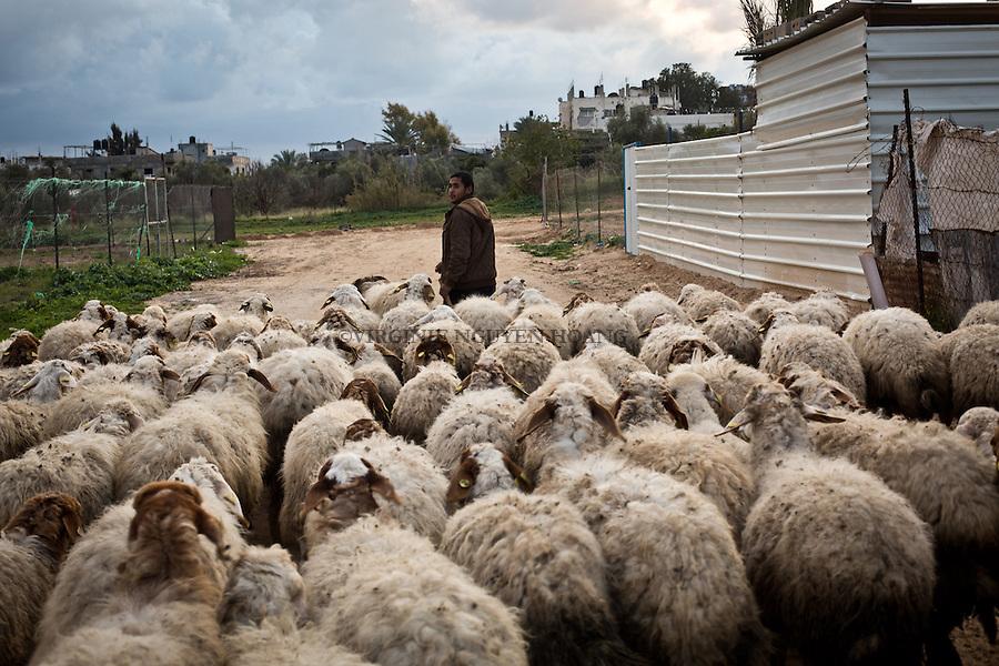 GAZA, Erez: Hassan leads his sheep in the pen. He has over thirty of them , they provide milk and meat that Hassan sells .<br /> <br /> GAZA,Erez: Hassan ram&egrave;ne ses moutons dans l'enclos. Il en a plus d'une trentaine, ceux-ci lui fournit laid et viande qu'Hassan revend.